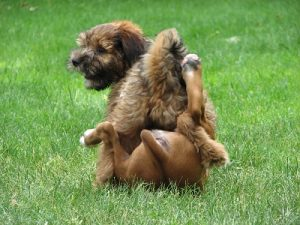 2 puppies playing