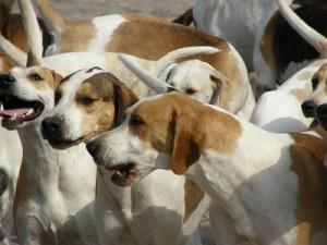 Pack dog